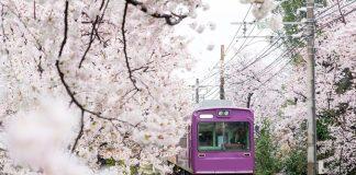 Xe lửa đi qua hàng Sakura